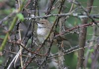 Spotted Bush Warbler » Bradypterus thoracicus