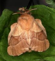Malacosoma neustria - The Lackey
