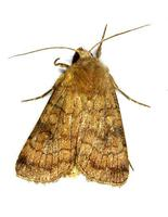 Xestia sexstrigata - Six-striped Rustic