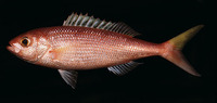 Parapristipomoides squamimaxillaris, Scalemouth jobfish: fisheries