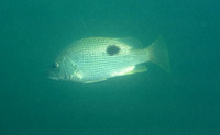 Lutjanus johnii, John's snapper: fisheries, aquaculture, gamefish