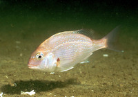 Pagrus major, Red seabream: fisheries, aquaculture, gamefish, aquarium