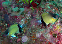 Chromis retrofasciata, Black-bar chromis: