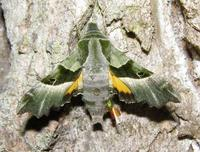 Proserpinus proserpina - Willowherb Hawk-moth