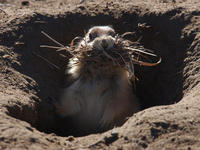 Image of: Cynomys ludovicianus (black-tailed prairie dog)
