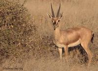 Image of: Gazella bennettii (Indian gazelle)