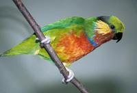 Psittaculirostris edwardsii - Edwards's Fig-Parrot