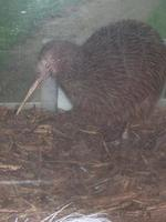 Image of: Apteryx australis (brown kiwi)