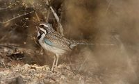 Long-tailed Ground-Roller (Uratelornis chimaera) photo