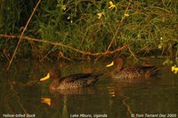 Yellow-billed Duck - Anas undulata