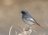 Black Redstart (Phoenicurus ochruros) photo