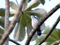 Great Antshrike - Taraba major