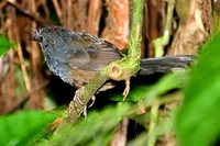 Slaty Bristlefront - Merulaxis ater
