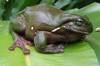 : Litoria caerulea; Green Tree Frog