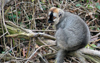 : Eulemur fulvus rufus; Red-fronted Brown Lemur