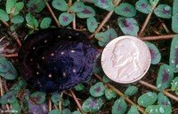 : Clemmys guttata; Spotted Turtle (Hatchling)