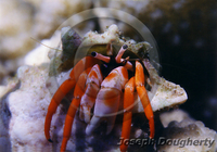 : Dardanus sp.; Orange Hermit Crab