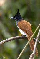 Terpsiphone paradisi  Asian Paradise Flycatcher photo