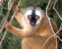photograph of red-fronted lemur
