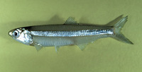 Anchoa hepsetus, Broad-striped anchovy: fisheries, bait