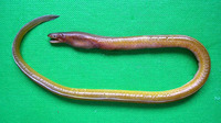 Myrophis punctatus, Speckled worm eel: fisheries, bait