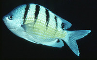 Abudefduf abdominalis, Green damselfish: aquarium