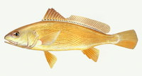 Nibea albiflora, White flower croaker: fisheries