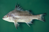 Boridia grossidens, Bourriqueta porgy: fisheries