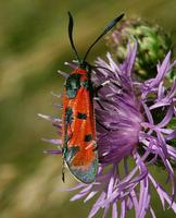 Zygaena laeta - Bloodword Burnet