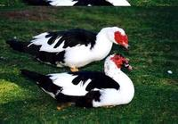 Image of: Cairina moschata (Muscovy duck)