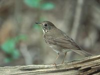 Gray-cheeked Thrush (Catharus minimus) photo