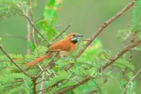 Hoary-throated Spinetail - Synallaxis kollari