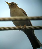 Gray-sided Thrush - Turdus feae