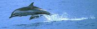 Striped Dolphin and calf, eastern tropical Pacific