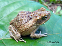 : Bufo crucifer; Striped Toad