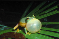 : Litoria gracilenta; Dainty Green Tree Frog