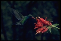 : Cylanthus latirostris; Broad-billed Hummingbird