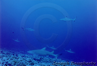 : Negaprion acutidens; Sicklefin Lemon Shark (FAO/English)