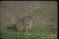 : Spermophilus beldingi; Belding's Ground Squirrel