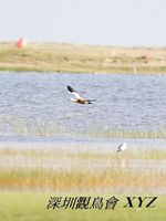 Tadorna ferruginea Ruddy Shelduck 赤麻鴨 008-079