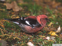White-winged Crossbill Loxia leucoptera male