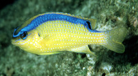Chrysiptera brownriggii, Surge damselfish: fisheries, aquarium