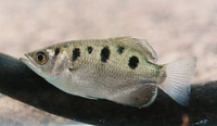 Toxotes chatareus, Largescale archerfish: fisheries, aquarium