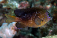 Stegastes adustus, Dusky damselfish: aquarium