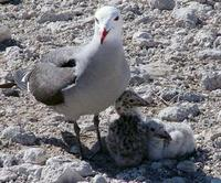Image of: Larus heermanni (Heermann's gull)