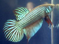 Betta sp. Mahachai