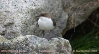 White-throated Dipper - Cinclus cinclus