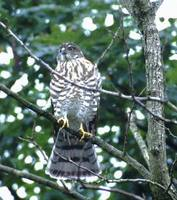 Japanese Sparrowhawk (Accipiter gularis) photo