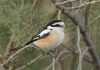 Masked Shrike (Lanius nubicus) photo