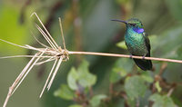 Green Violet-ear (Colibri thalassinus) photo